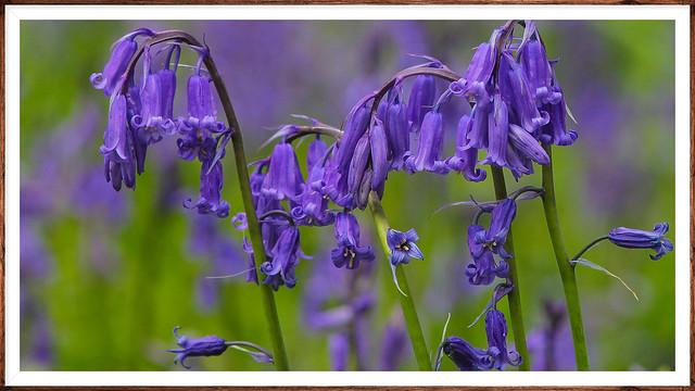 Native bluebells Kent