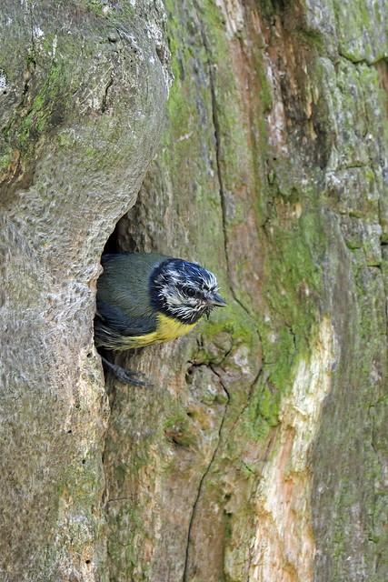 Blue Tit Leaving Nest