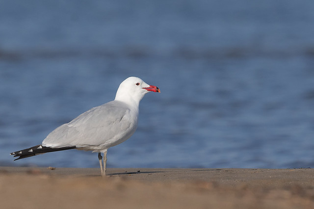 Gavina corsa - Gaviota de Audouin - Audouin's gull - Goéland d'Audouin - Larus audouini