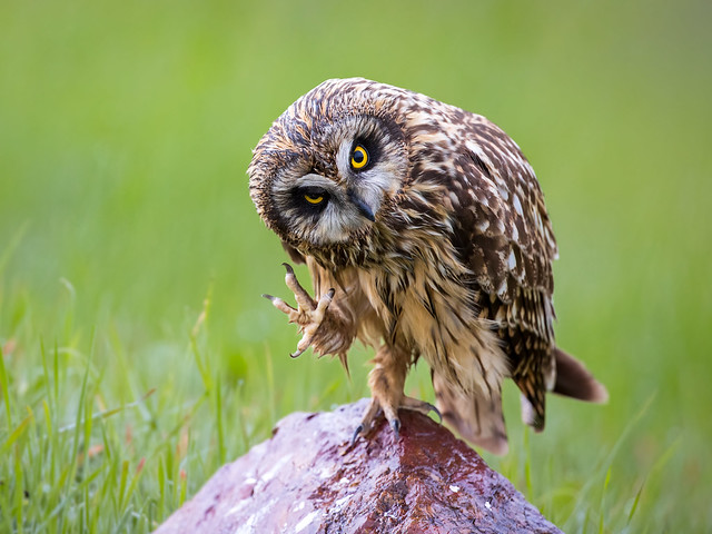 Hi, There! (short-eared owl)