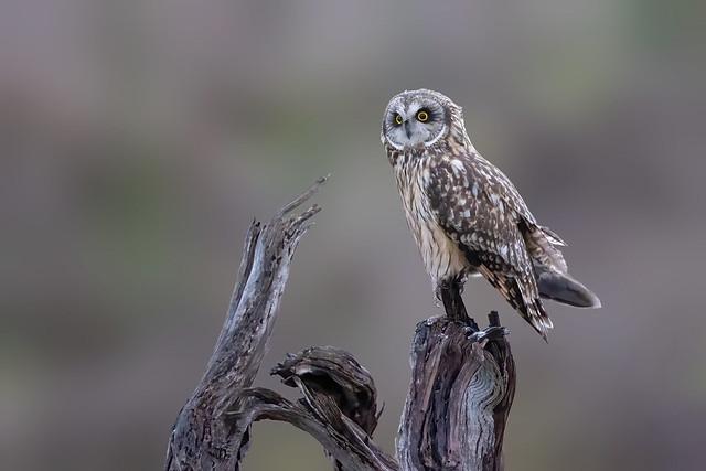Short-eared Owl 3I2544