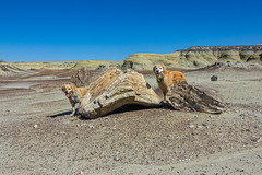 Lily at petrified wood at Bisti Wilderness in NM-02 4-11-21