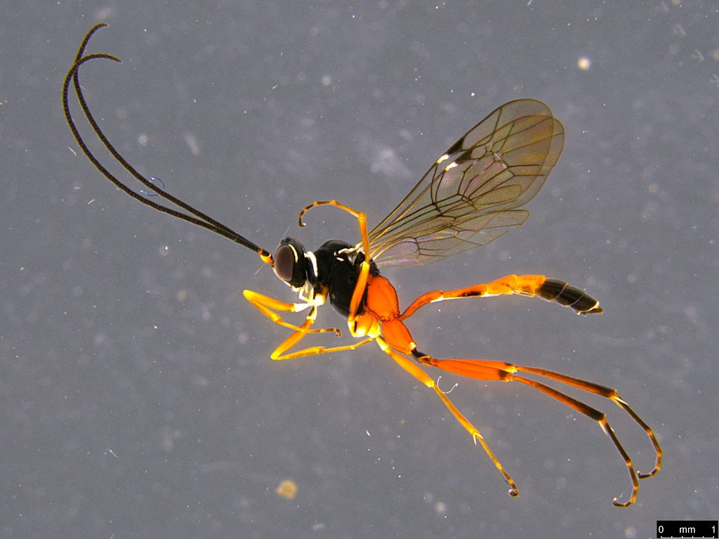 29a - Ichneumonidae sp.
