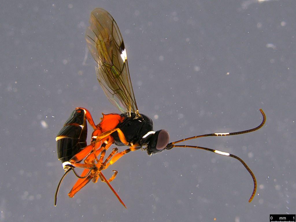 33a - Ichneumonidae sp.