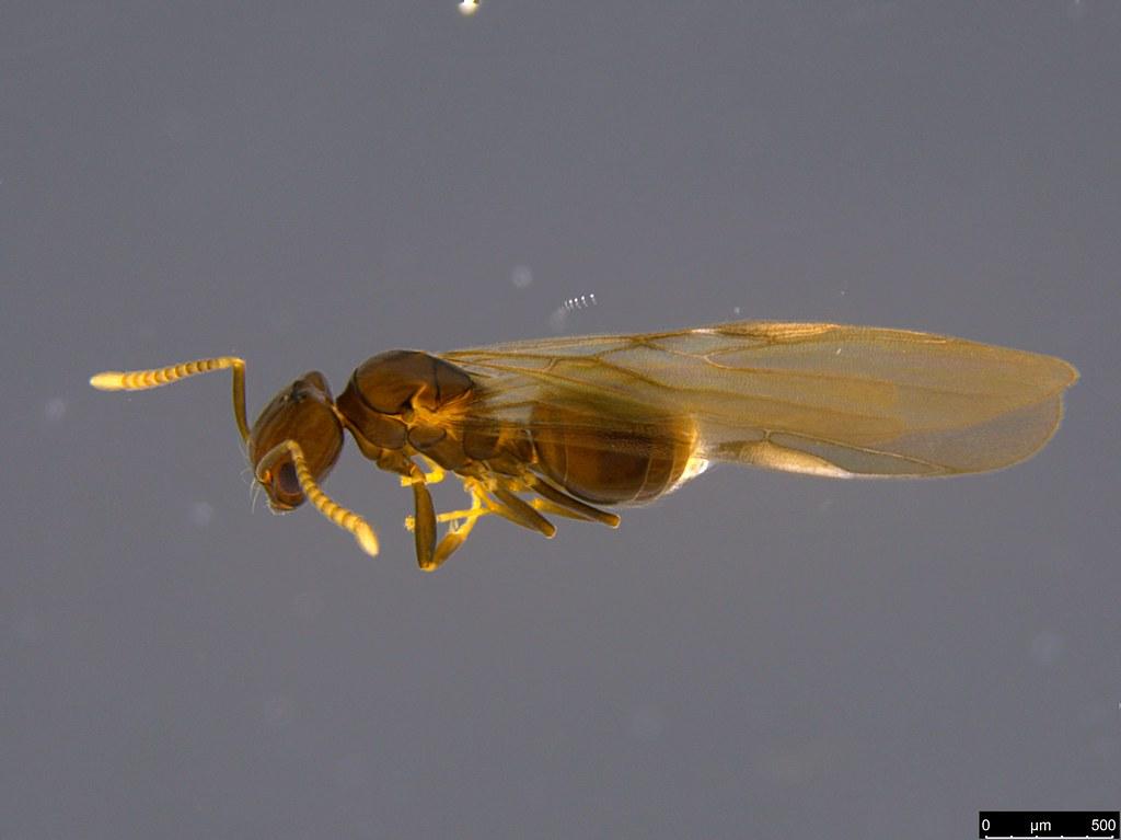 35b - Formicidae sp.