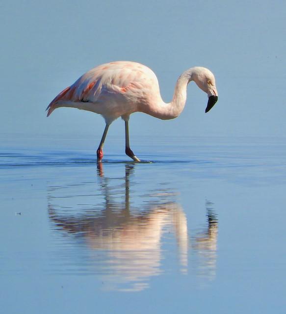 Chilean Flamingo at the Atacama Salt Flats