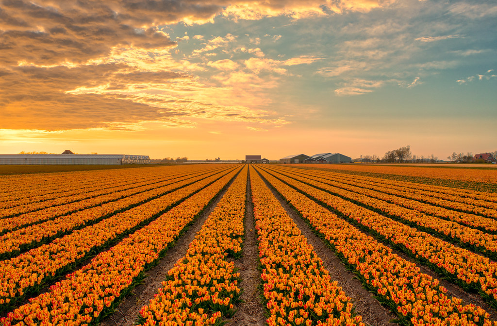 Our tulips start out red. Then they begin to absorb our golden light. Near 't Zand, Holland.
