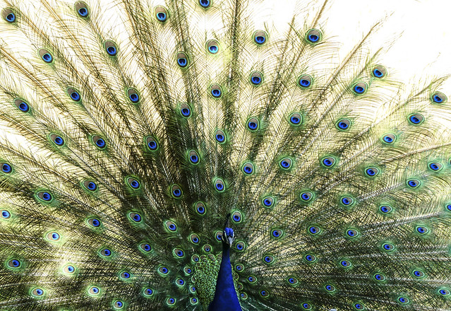 Pavo real - Peacock