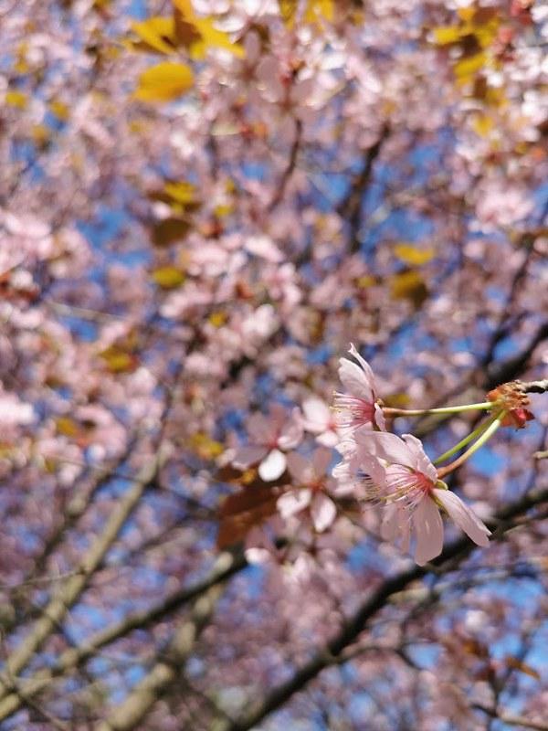 Roihuvuori_kirsikkapuisto_6