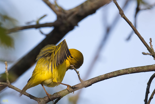 Yellow Warbler Grooming