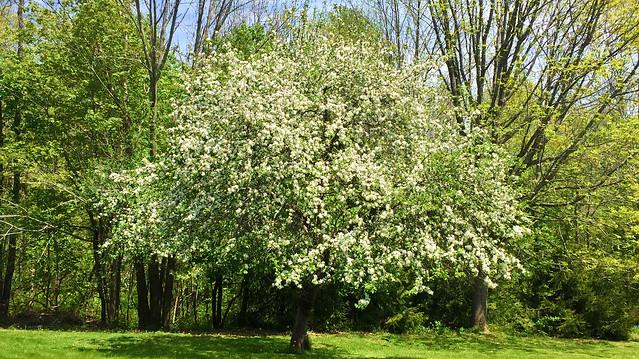 Apple Tree Blossoming... Coastal Maine