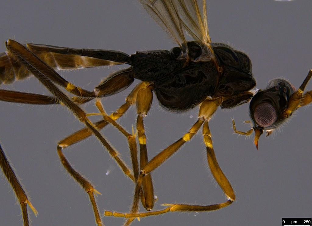 22b - Braconidae sp.