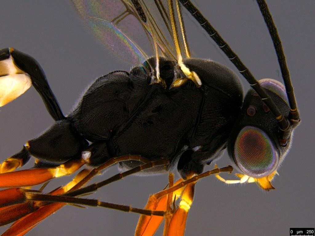 27c - Ichneumonidae sp.