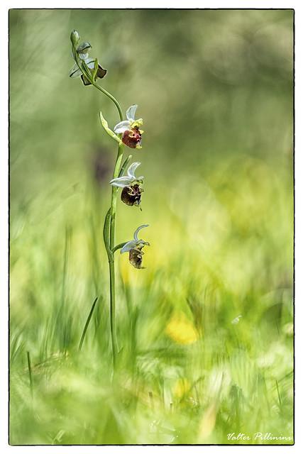 Ophrys holosericea.