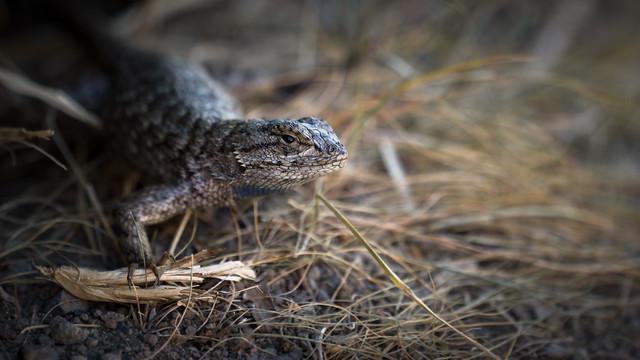 Sagebrush Lizard #3