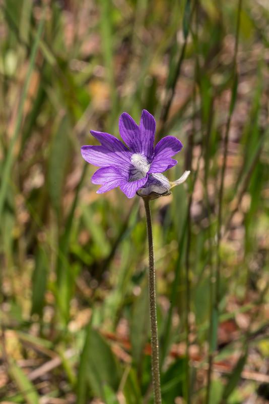 Violet Butterwort