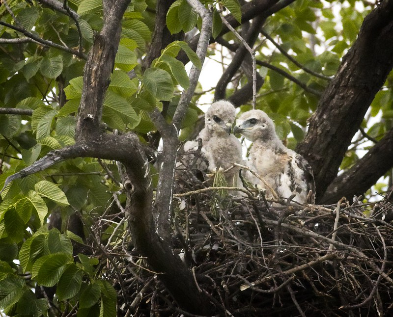 Tompkins red-tail chicks (2 of 3)