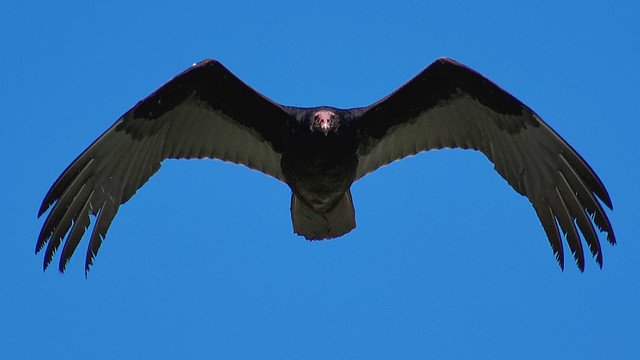 Common Turkey Vulture
