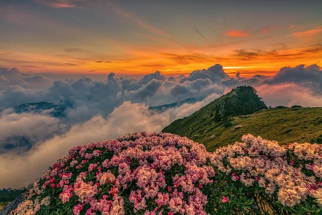 合歡山●玉山杜鵑雲海夕彩   Taiwan Alpine Rhododendron Sunset