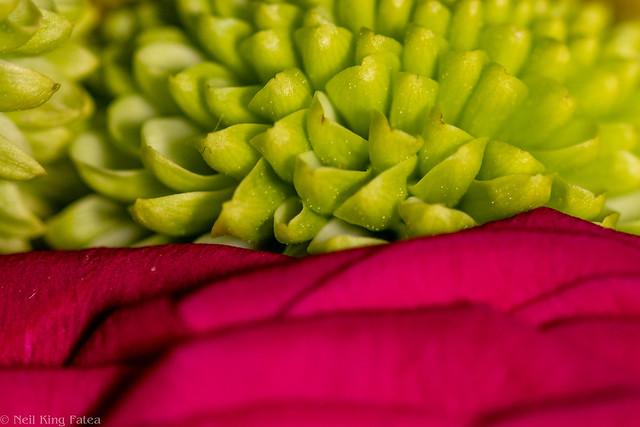 Chrysanthemum Rose - Photocredit Neil King-3