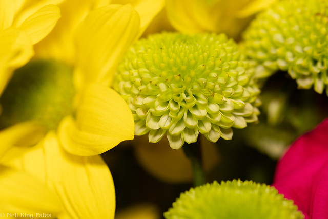 Chrysanthemum Daisy - Photocredit Neil King-1