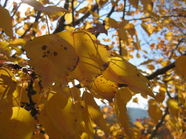 Golden Elm Leaves - Bright