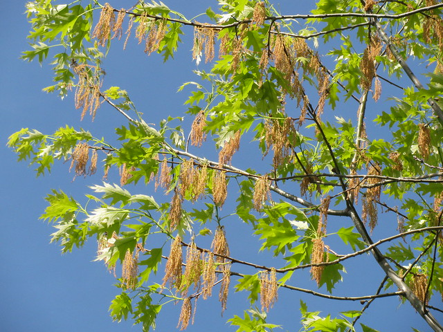 Northern red oak catkins
