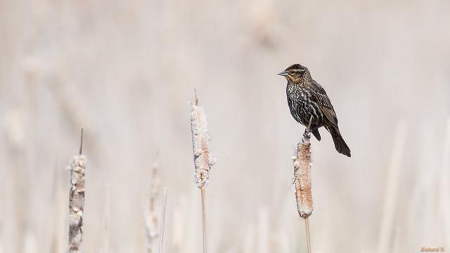 Carouge à épaulettes femelle – Red-winged Blackbird, Marais-Léon-Provancher, PQ, Canada - 05371