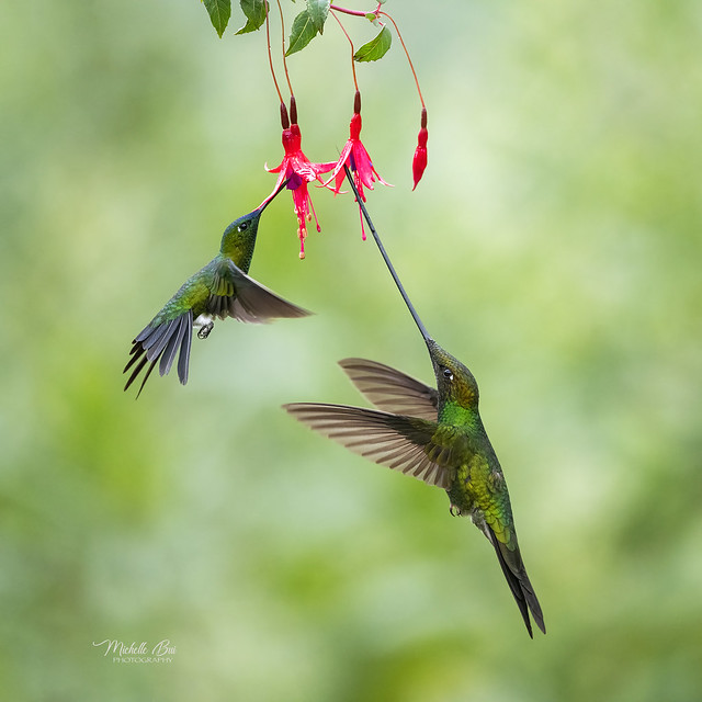 _DSC2387 _ Sword-billed Hummingbird