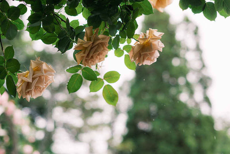 Roses on a Rainy Day