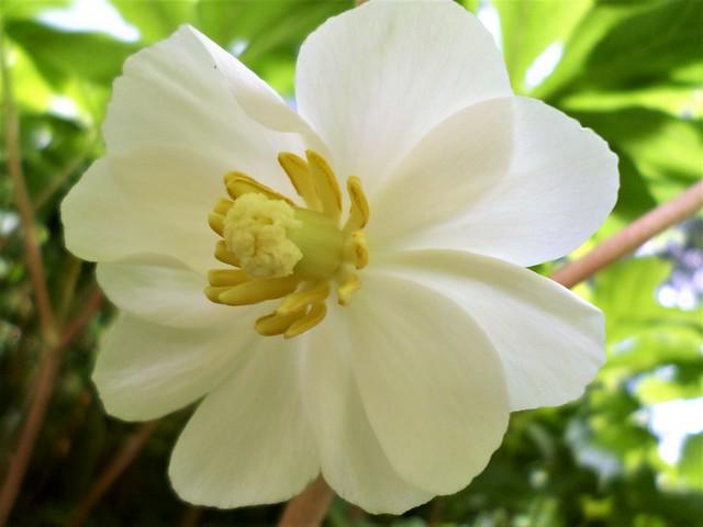 Mayapple (Podophyllum)