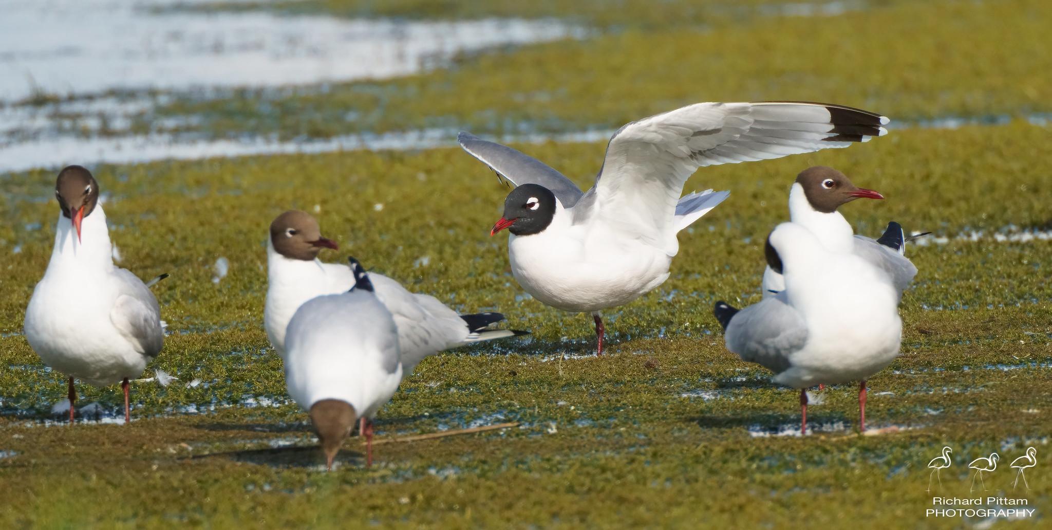 Franklin's Gull with Black-headed Gulls