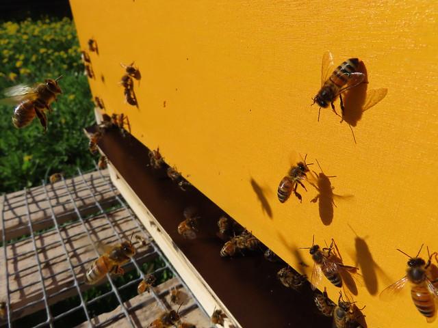 Heney bees