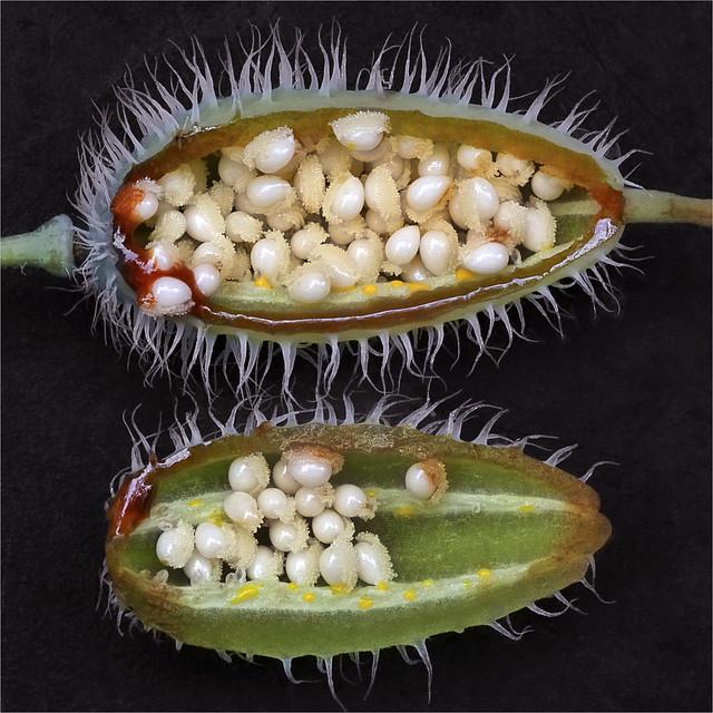 Celadine Poppy Seed Pod