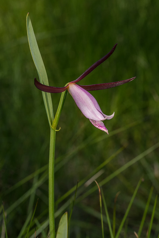 Large Rosebud orchid