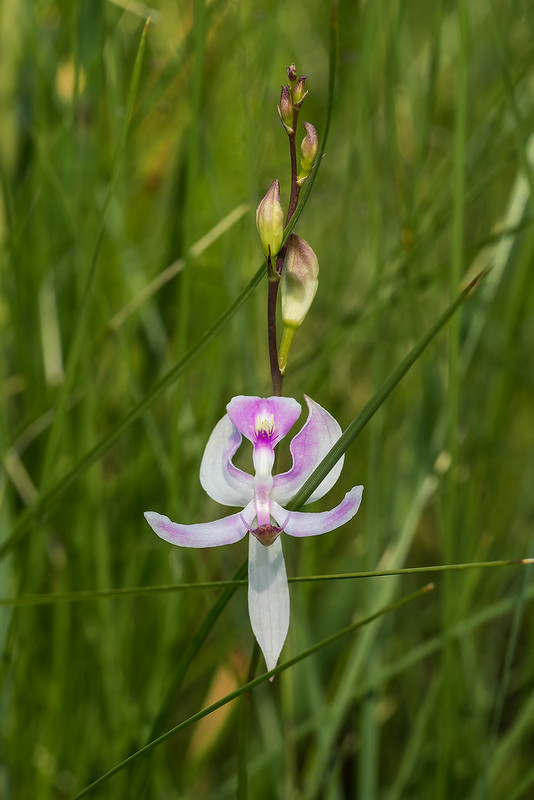 Pale Grass-pink orchid