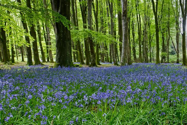 Bluebells - woodland at Emo Court