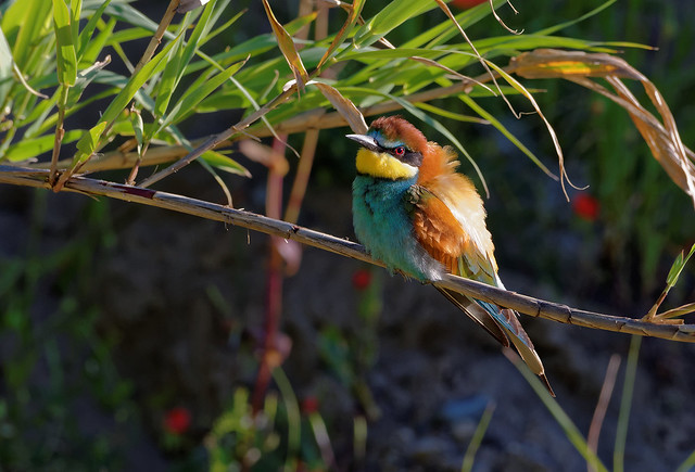 Guêpier d'Europe - Merops apiaster - European Bee-eater - Bienenfresser - Abejaruco europeo - Gruccione comune