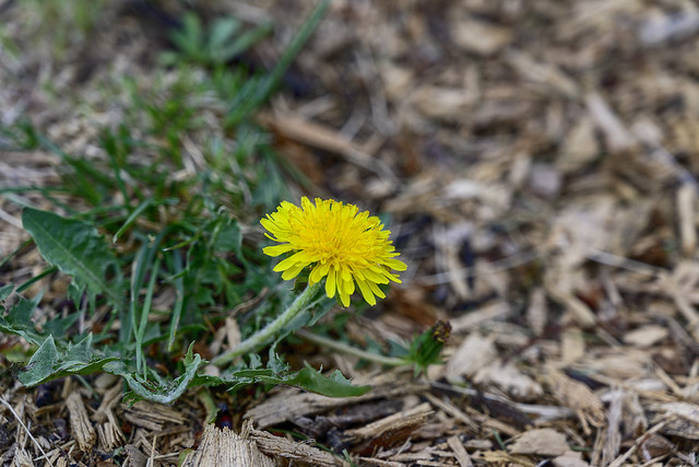Dandelions are underrated