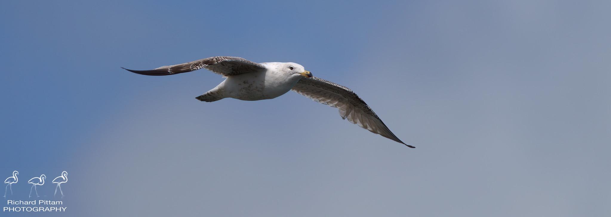 Herring/Greater Black-backed? Gull