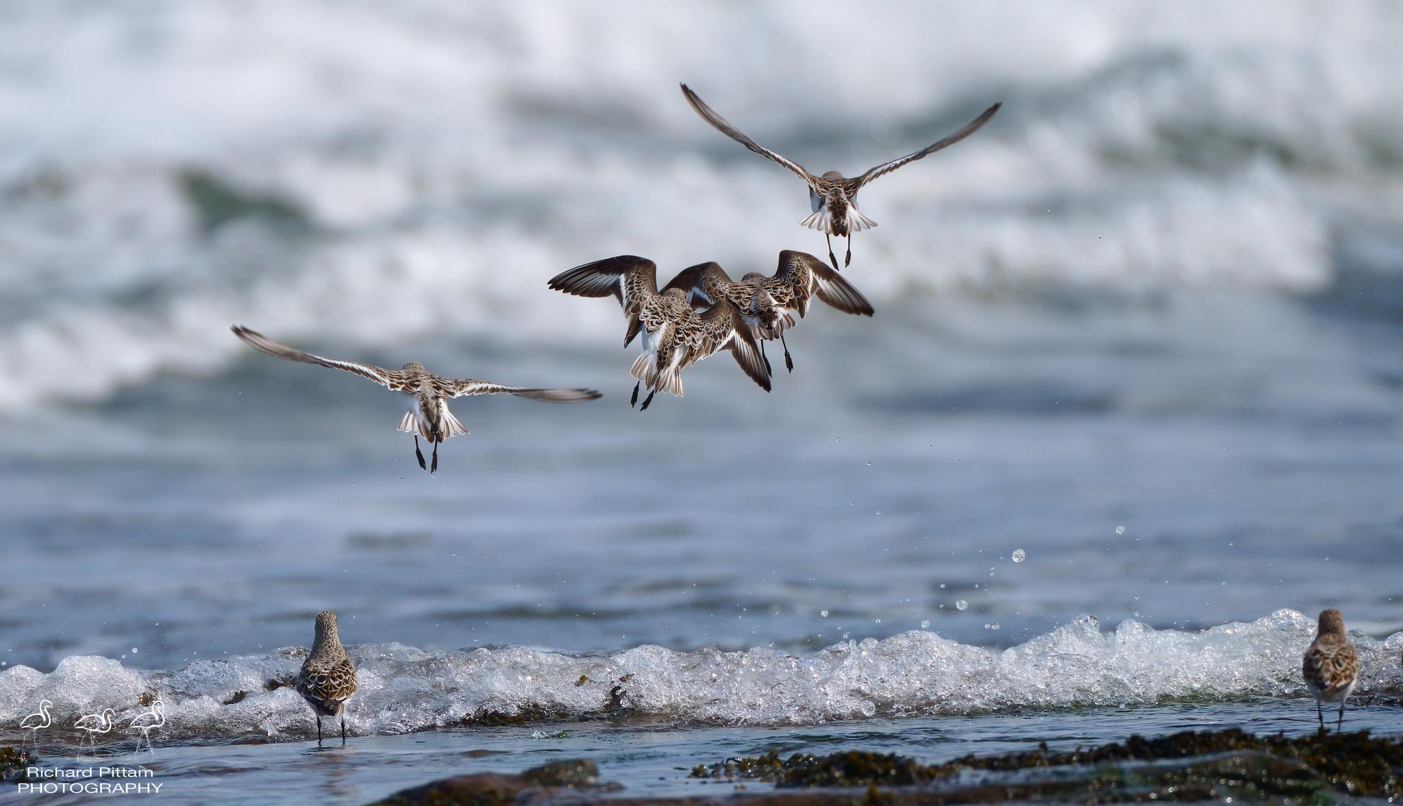 Sanderling in surf