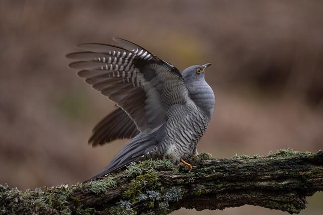 Colwyn the Welsh Cuckoo