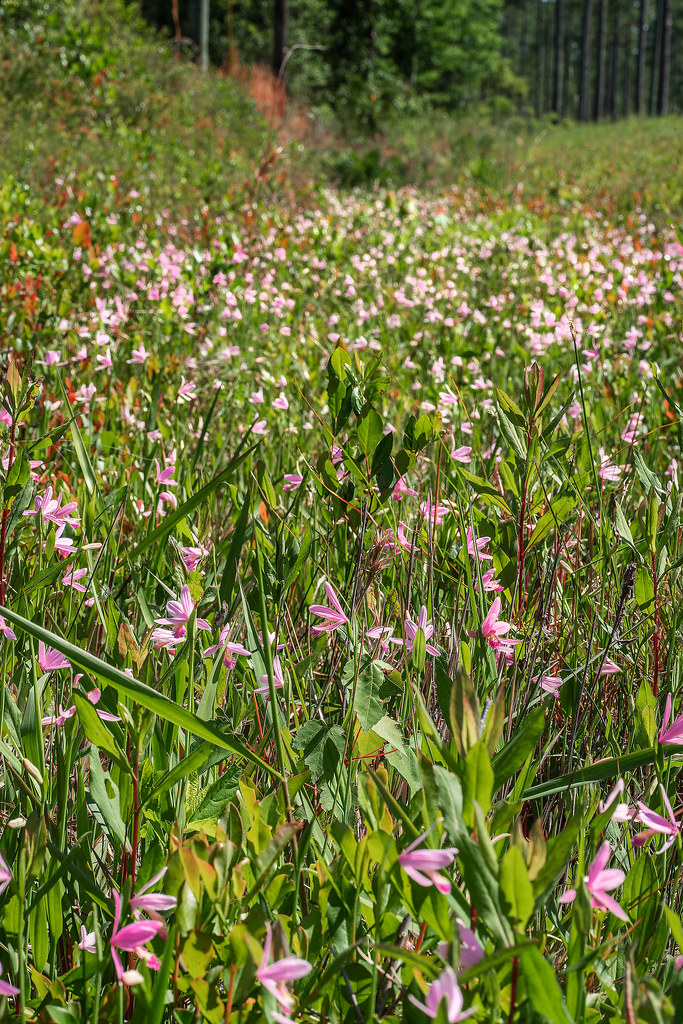 Large ditch full of Rose Pogonia orchids