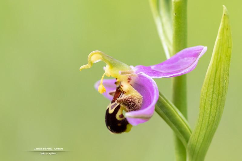 Ophrys apifera 51190480057_d85a4e42f4_c