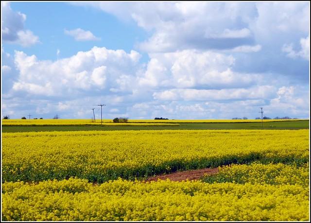 Two Fields of  Rapeseed Flowers .