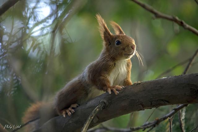En pleine forêt sans lumière, l'écureuil roux.