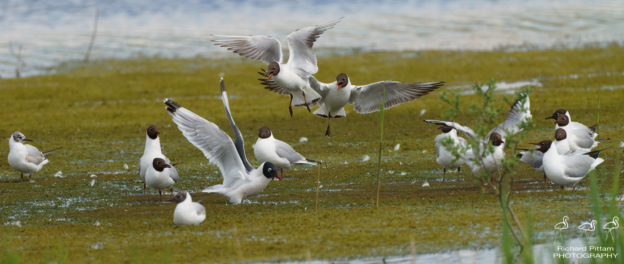 Franklin's Gull among Black-headed Gulls