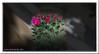Kaktusblüten - cactus flowers