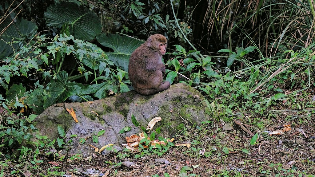 陽明山國家公園境內野生動物豐富,獼猴就是常見物種之一。攝影:曾以寧。