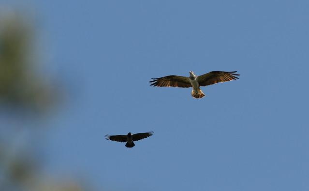 Osprey  vs crow